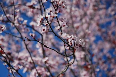 Cerdeira de flor