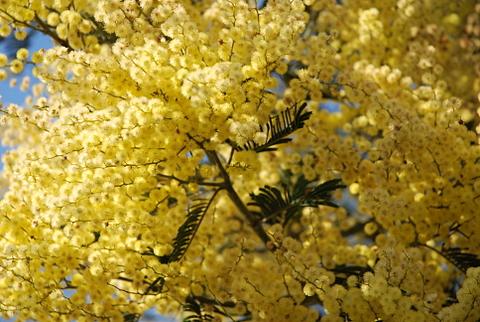 Mimosiñas