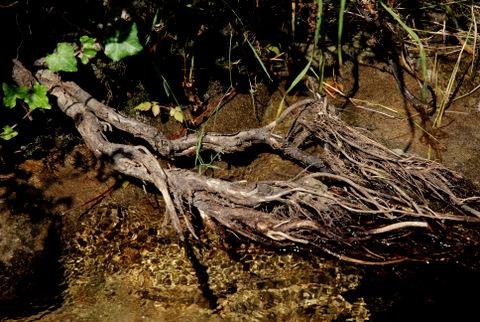 Botar raíces fóra