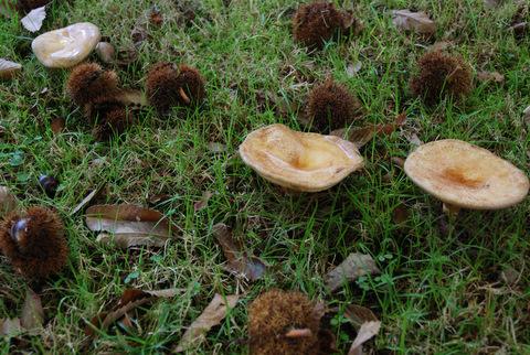 Cogumeliños